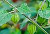 Frutas exóticas en el jardín: physalis peruana - El Huacatay - Valle Sagrado de los Incas - Urubamba - Cusco - Perú<br /> <br /> Exotic fruit in the garden: Cape gooseberry - El Huacatay - Valle Sagrado de los Incas - Urubamba - Cusco - Peru<br /> <br /> Exotische vruchten in de tuin: goudbes of physalis - El Huacatay - Valle Sagrado de los Incas - Urubamba - Cusco - Peru<br /> <br /> Fruits exotiques dans le jardin: coqueret du Pérou - El Huacatay - Valle Sagrado de los Incas - Urubamba - Cusco - Pérou