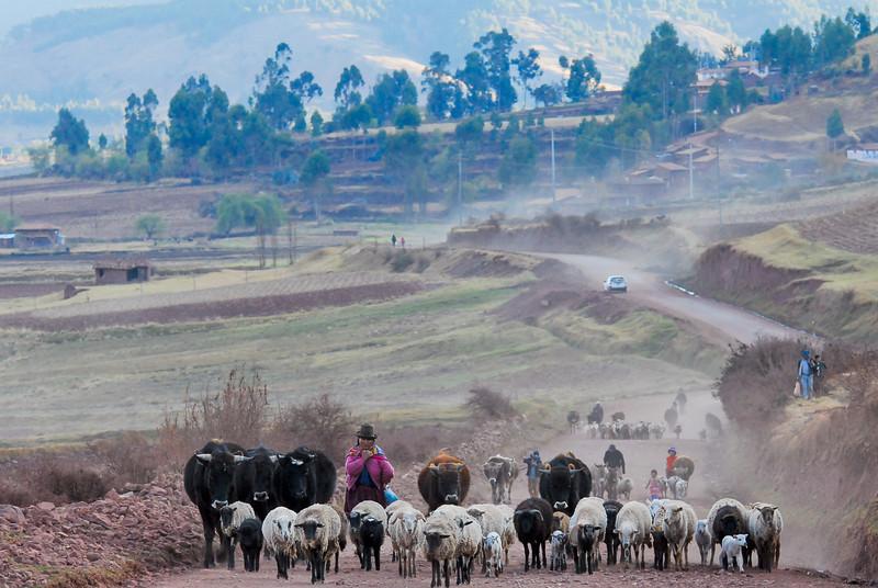 Ya vienen la costillas de cordero - Huarocondo - Anta - Cusco - Perú<br /> <br /> Lamb chops on my way - Huarocondo - Anta - Cusco - Peru<br /> <br /> Scapenkoteletjes onderweg - Huarocondo - Anta - Cusco - Peru<br /> <br /> Cotelettes d'agneau - Huarocondo - Anta - Cusco - Pérou