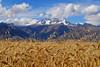 Mucho trigo en la zona - Moray - Maras - Valle Sagrado de los Incas - Cusco - Perú<br /> <br /> Lots of wheat in the area - Moray - Maras - Valle Sagrado de los Incas - Cusco - Peru<br /> <br /> Tarwe in overvloed in de regio - Moray - Maras - Valle Sagrado de los Incas - Cusco - Peru<br /> <br /> Beaucoup de blé dans la région - Moray - Maras - Valle Sagrado de los Incas - Cusco - Pérou