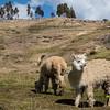 Alpacas - Quispicanchi - Cusco - Peru