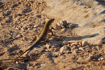Schreiber's fringe-fingered lizard