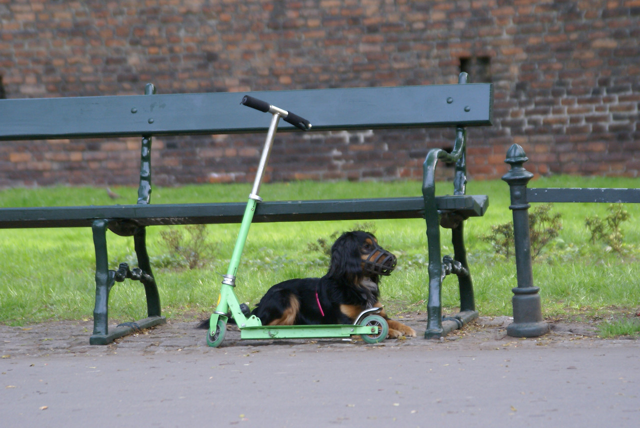 You should see this dog ride the scooter.