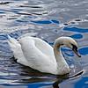 Vltava River Swan