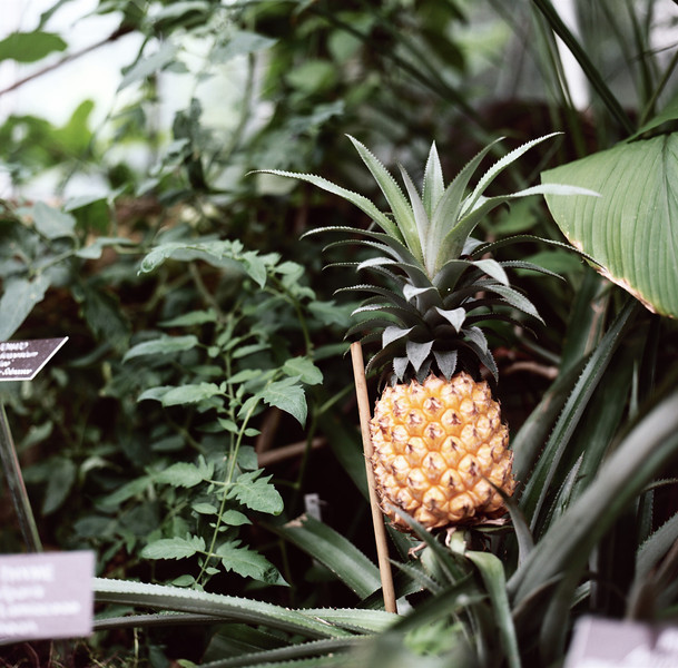 PINOPL. National Botanic Garden. Hasselblad 500c/m, Kodak New Portra 160.