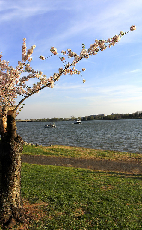 """A """"surviving"""" cherry tree along the river bank..."""