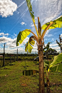 View of a Banana Tree4