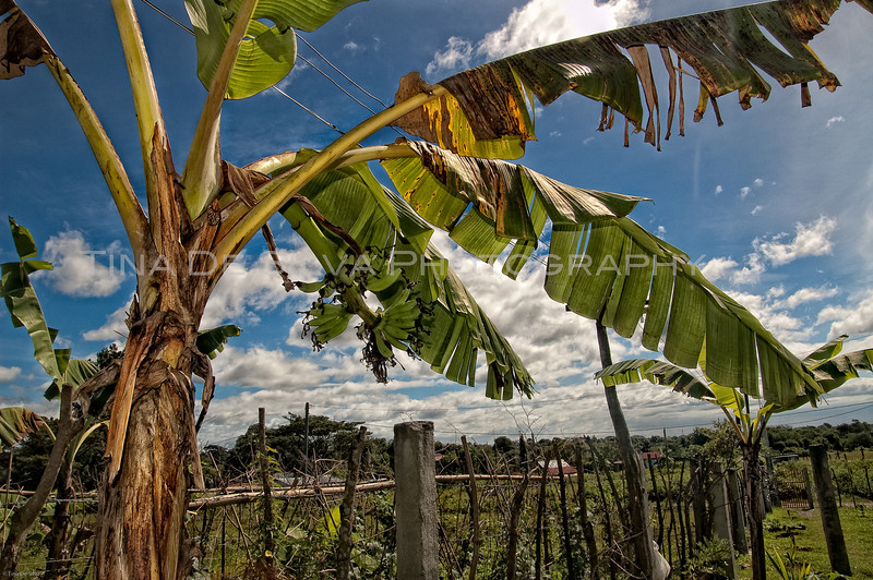 View of a Banana Tree1