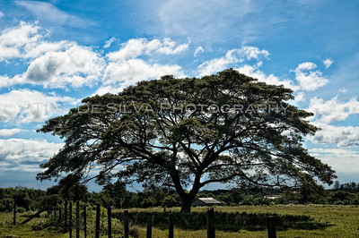 Acacia Tree near Daddy's Farm2