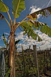 View of a Banana Tree2