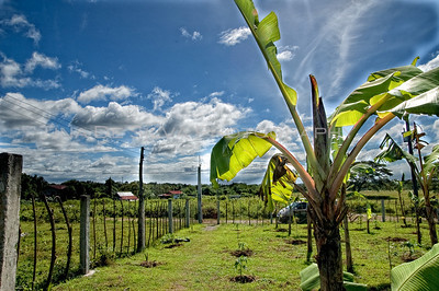 View of a Banana Tree5