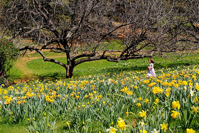 Daffodill Hill (S5) 074c