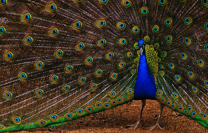 An unexpected surprise: This peacock at the farm was strutting his stuff for quite a while trying to impress the peahens who callously ignored him.