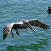 Pelican in flight at Dana Point, California.