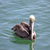Pelican at Dana Point, California.