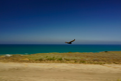 "Bird soars along Southern California coast at Lookout along US 5 Southbound, halfway between  San Clemente and Oceanside, California.  Described or known as ""Old Pacific Highway - Camp Pendleton Southbound Rest Area in California state located immediately south of the Old Pacific Highway under-pass"""