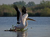 Pelican (<i>Pelecanus onocrotalis</i>), Pelikan,  Danube delta, April 2012