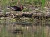 Glossy ibis (<i>Plegadis falcinellus</i>), bronsibis, Danube delta, May 2012
