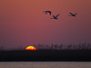 Mute swans flying over the rising sun, Danube delta April 2012.
