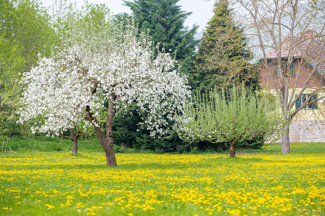 Tree blossom - Melk, Austria