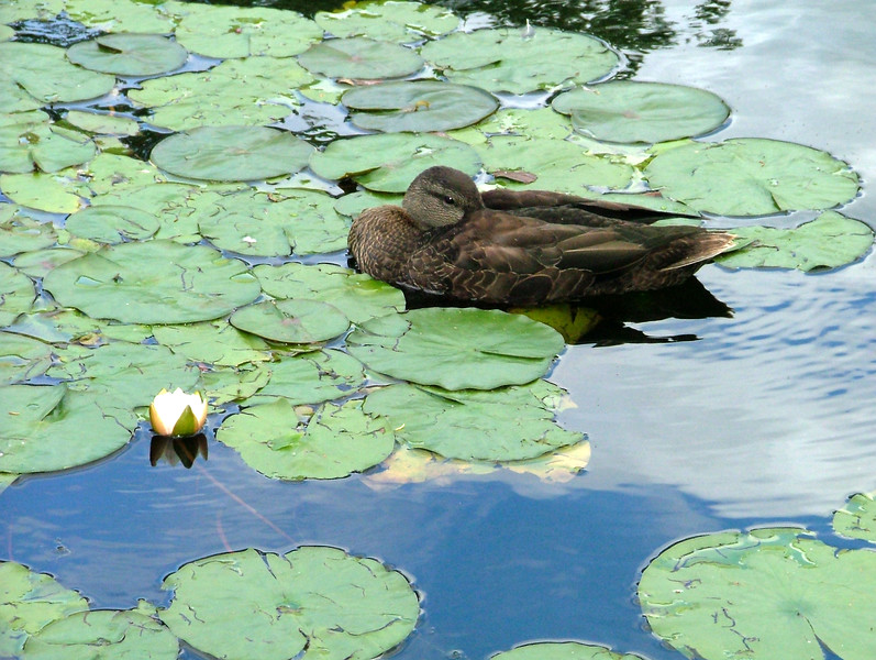 Shubi Duck