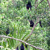 Bats hang on trees at Wangi Falls in Litchfield National Park of the Northern Territory, Australia.