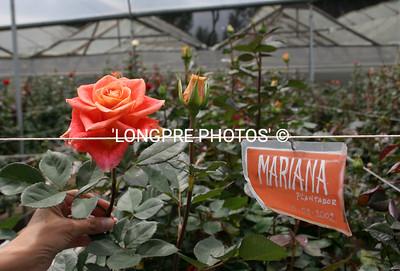 Rose farm  'ROSEDEX'  close to Otovalo.