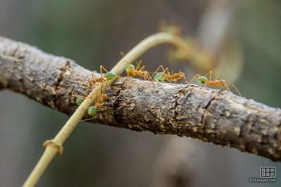Green Tree Ants