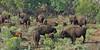 Small buffalo heard with calves along the high road to Taos
