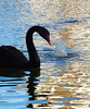 Black Swan, Alva Donna resort reflecting pool