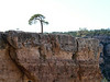 Lone Tree, South rim of the Grand Canyon