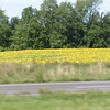 We saw many fields of sunflowers.  I was taking pictures while on the motorcycle.  I'm not sure if this is Virginia or Pennsyvania.