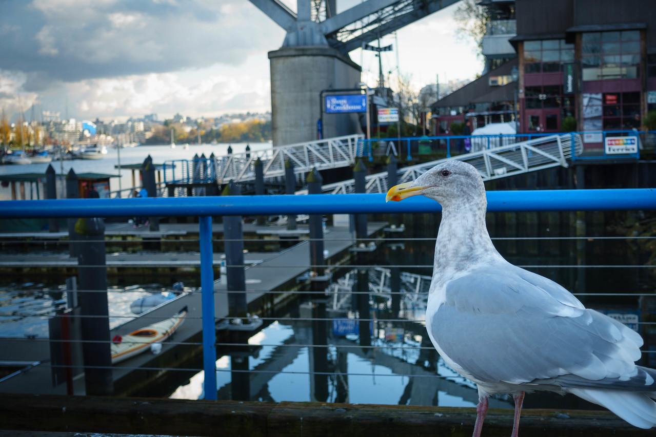 Granville Market Seagull