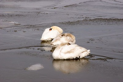Swans sheltering on the ice