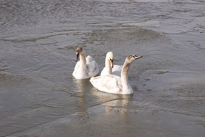 Swans in the Cobourg Marina