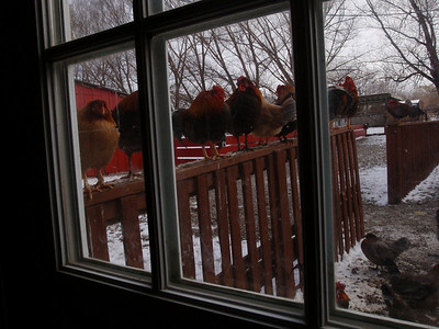 Chickens Lined Up and Waiting