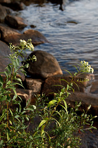 Wildflowers Along the Shore, Makalika Cottage, Milford Bay