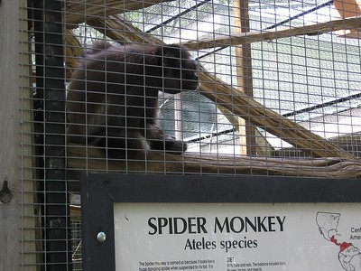 Spider Monkey, Riverside Zoo, Peterborough
