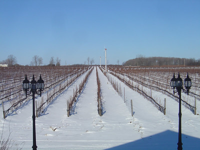 Vineyard at Carmela Estates Winery