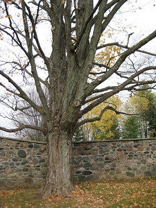 Bare Tree and Stone Wall