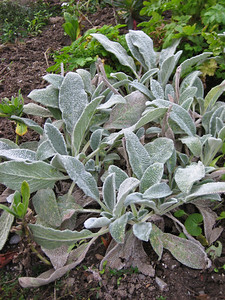 Frosty Lamb's Ear
