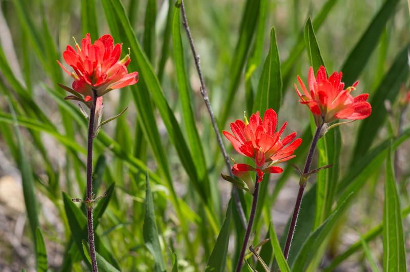Indian paintbrush (Castilleja coccinea); Cedar Gap Conservation Area near Mansfield, Missouri.