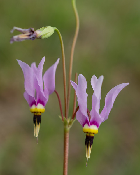 Shooting Star wildflowers (Dodecatheon meadia). Cedar Gap Conservation Area near Mansfield, Missouri.
