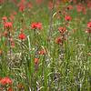 A field of Indian Paintbrush (Castilleja coccinea); Cedar Gap Conservation Area near Mansfield, Missouri.