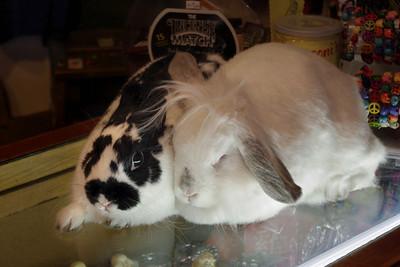 Gift shop bunnies. Pet rabbits in a shop, Eureka Springs, Arkansas. 11/11/2011