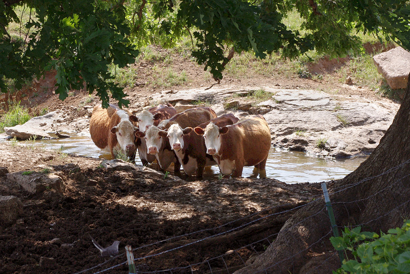 Cows in the creek near, Everton, Missouri. May 2012