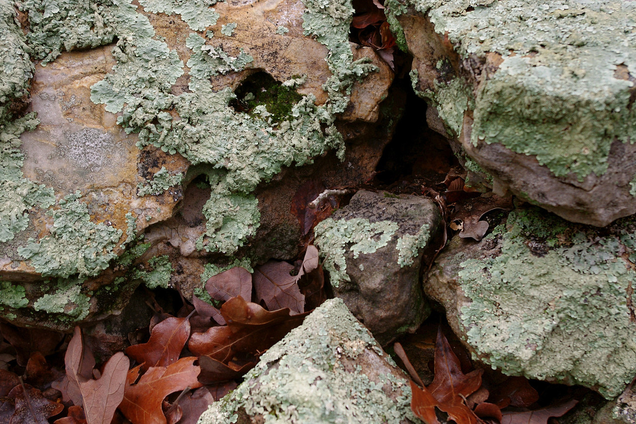 Lichens on rock with oak leaves. Homesteaders Trail, Henning Conservation Area, near Branson, Missouri.