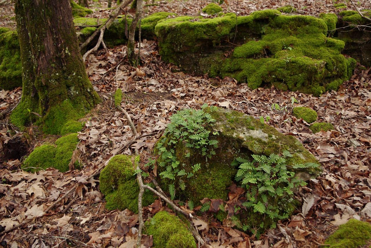 Mossy rocks with ferns. Homesteader's Trail, Henning Conservation Area, Missouri.