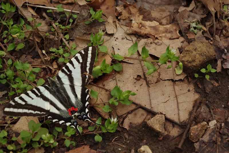 Butterfly, Homesteader's Trail, Henning Conservation Area, SW Missouri.