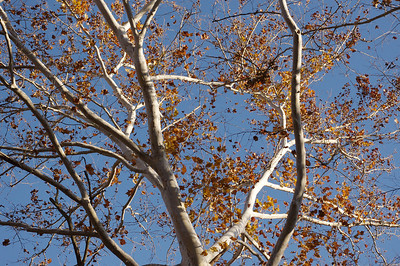 White sycamore branches against a blue autum sky. Lost Hill Park, north of Springfield, Missouri.