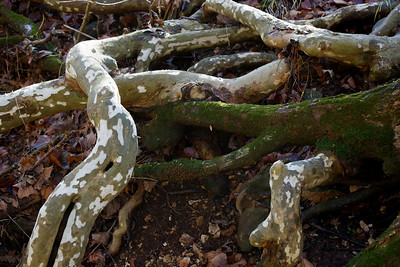 Tree roots; dry stream bed at Lost Hill, north of Springfield.